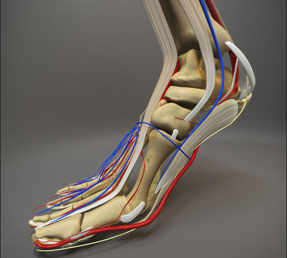 View of human foot with bones, veins, and arteries represented.