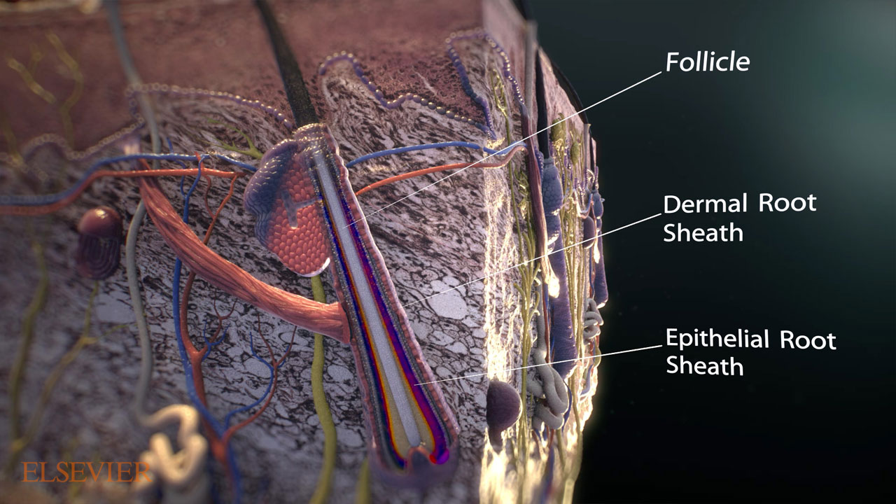 Extreme close up of outer skin layer, with hair follicle components labeled.