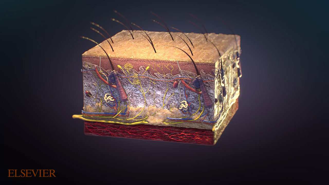 Cube cross section of the outer layer of human skin.