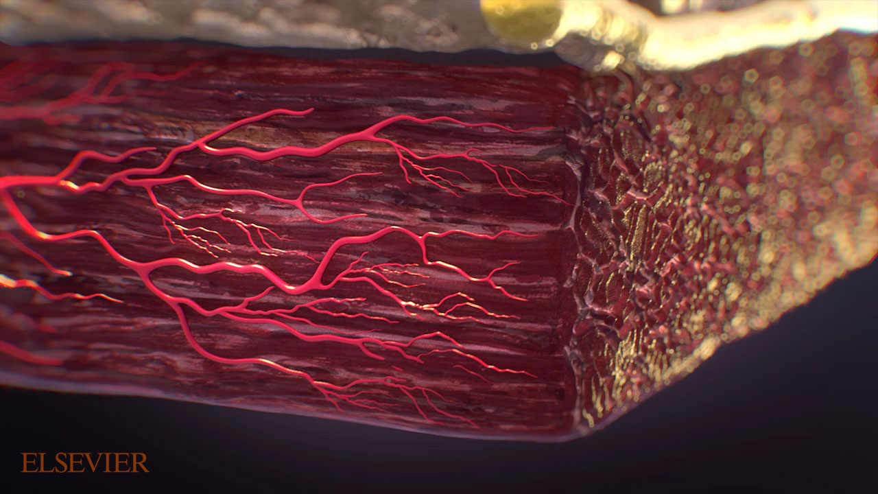 Close up view of the muscle layer underneath the skin layer.