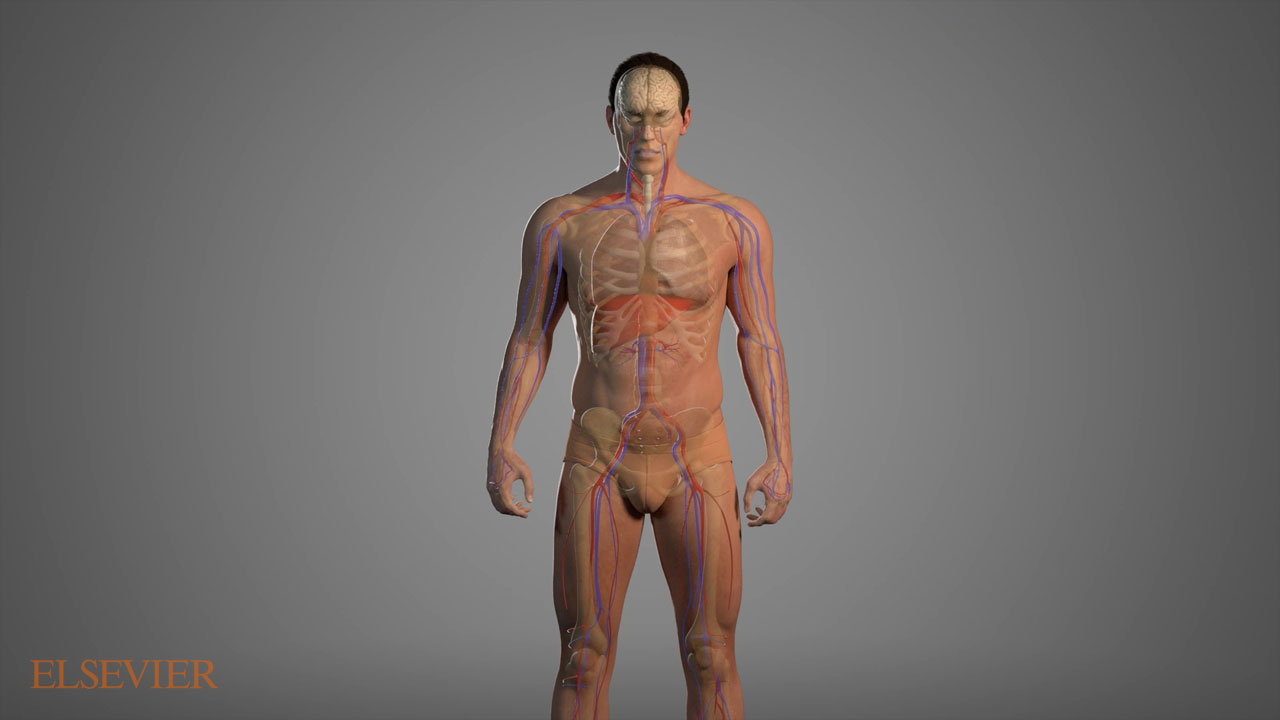 Full body vein and artery map.