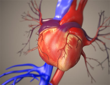 Fully rendered human heart with coloring applied to distinguish veins and arteries.
